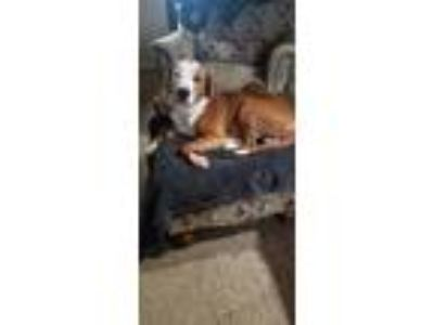 Adopt Johnny a Brown/Chocolate - with White Pit Bull Terrier dog in oklahoma