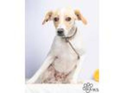 Adopt Griffon a Tan/Yellow/Fawn Jack Russell Terrier / Rat Terrier / Mixed dog