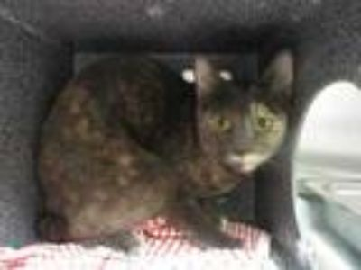 Adopt Boma a Gray or Blue Domestic Shorthair / Domestic Shorthair / Mixed cat in