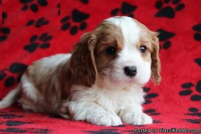 Magnificent Cavalier King Charles Puppies Available