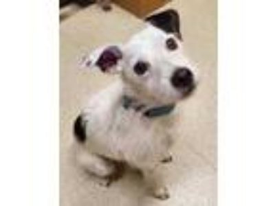 Adopt Jack a White Jack Russell Terrier / Mixed dog in Eugene, OR (25800403)