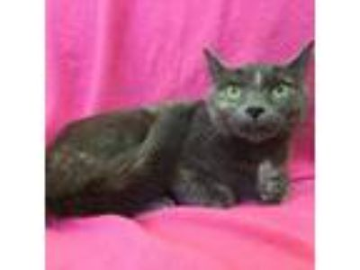Adopt Anna a Gray or Blue Domestic Shorthair cat in Rochester, MN (24580924)