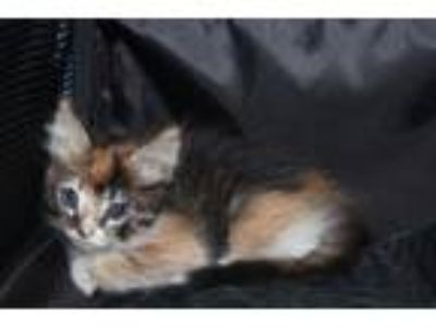 Adopt Sweetpea a Domestic Medium Hair, Domestic Short Hair
