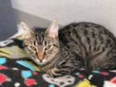 Adopt Raina a Domestic Short Hair, Tabby