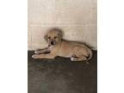 Adopt Dory a Tan/Yellow/Fawn Labrador Retriever / Mixed dog in Edinburg
