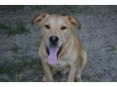 Adopt Collin a Labrador Retriever