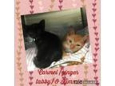 Adopt Carmel & Kimmie a Domestic Short Hair