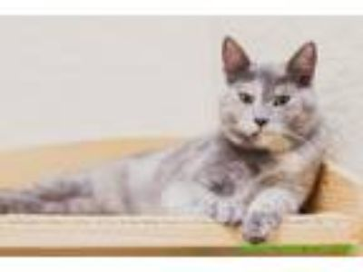Adopt Patches a Tortoiseshell Domestic Shorthair cat in Fresno, CA (25355753)
