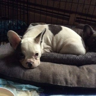 French Bulldog PUPPY FOR SALE ADN-98299 - SCARLETTS FRENCH BULLDOGS
