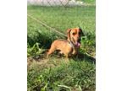 Adopt Pong a Tan/Yellow/Fawn Dachshund dog in Moorestown, NJ (25724222)