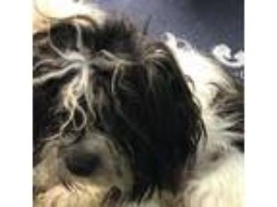 Adopt Shoelace a Poodle