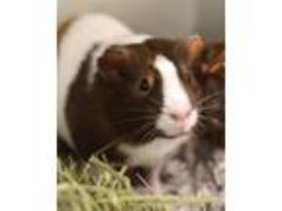 Adopt Ciara a Guinea Pig small animal in Novato, CA (25529170)