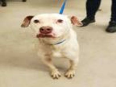Adopt BULLET a Pit Bull Terrier, Mixed Breed