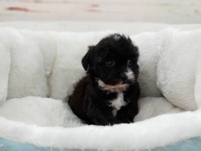 Shipoo Puppy- Female- Sally ($599)