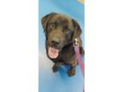 Adopt Jet a Black Labrador Retriever