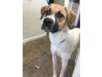 Adopt 14919 a Boxer, Great Pyrenees