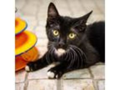 Adopt Sprout a Domestic Shorthair / Mixed (short coat) cat in St.