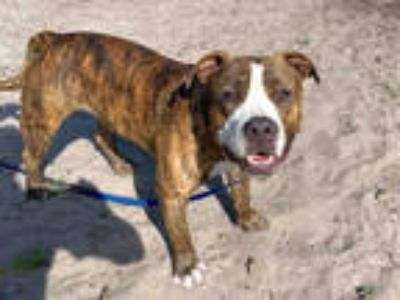 Adopt KOMODO a Brindle - with White American Staffordshire Terrier / Mixed dog