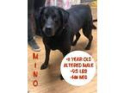 Adopt Mino a Black Labrador Retriever / Mixed dog in Waldwick, NJ (25586609)