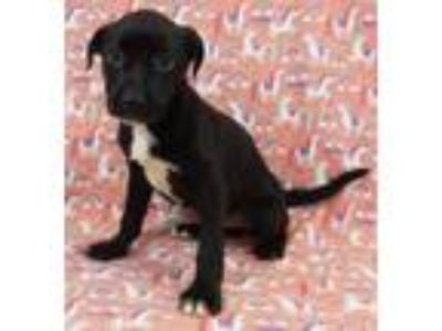 Adopt Gabby a Black - with White Labrador Retriever / Mixed Breed (Large) /