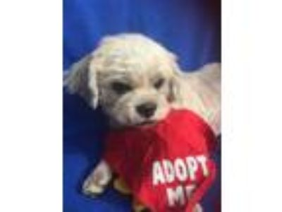 Adopt Sherman-WATCH MY VIDEO!!! a Tan/Yellow/Fawn - with White Lhasa Apso /