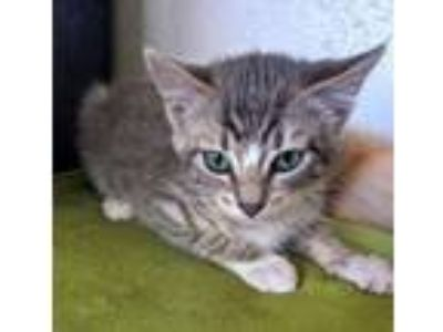 Adopt Acadia a Domestic Short Hair