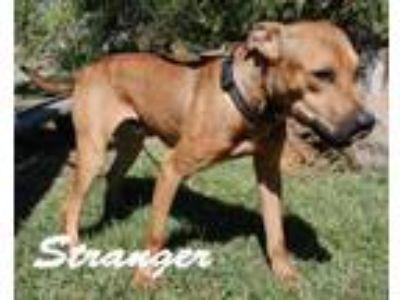 Adopt Stranger a Pit Bull Terrier