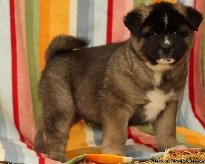 Cute Akita Puppies for Adoption ..xx +1(801) 449