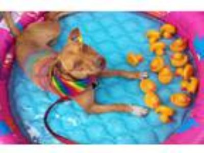 Adopt Honey a Tan/Yellow/Fawn - with White American Pit Bull Terrier / Labrador