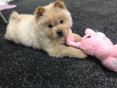 Quality Chow Chow Puppies for Sale