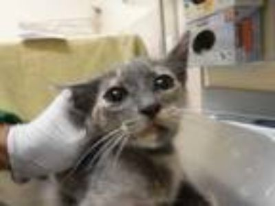 Adopt Demure a Gray or Blue Domestic Shorthair / Domestic Shorthair / Mixed cat