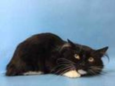 Adopt 41976124 a All Black Domestic Mediumhair / Mixed cat in St.