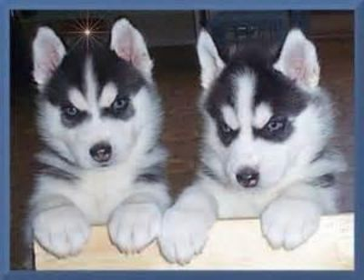 Siberian Husky Puppies Blue eyes Ready
