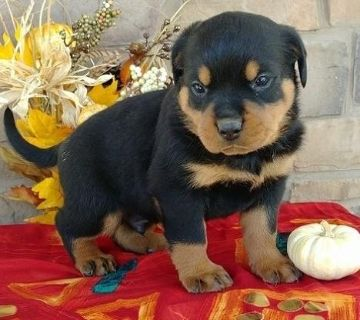 virtuous Rottweiler Puppies