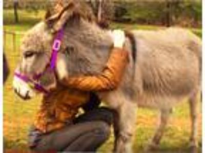 Holly the Hugging Miniature Donkey Pet Companion