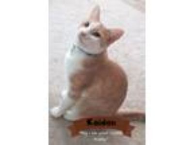 Adopt Kaiden a Cream or Ivory (Mostly) Domestic Shorthair (short coat) cat in