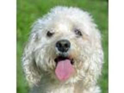 Adopt Mandy a Tan/Yellow/Fawn Cocker Spaniel / Poodle (Toy or Tea Cup) / Mixed
