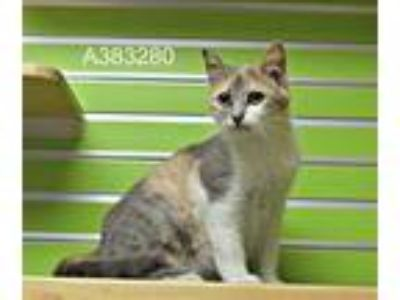 Adopt a Gray or Blue Domestic Shorthair / Mixed (short coat) cat in St.