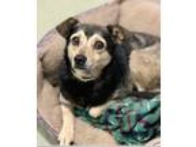 Adopt Chelsea-Bug a Brown/Chocolate - with Black Miniature Pinscher / Jack
