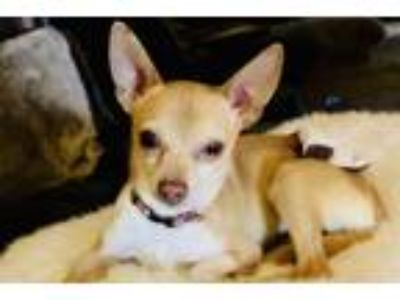 Adopt Roan a Terrier (Unknown Type, Medium) / Mixed dog in Napa, CA (25309862)