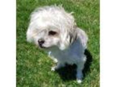 Adopt Theodore a White Bichon Frise / Mixed dog in Marshfield, WI (25223803)