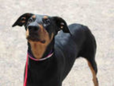 Adopt *YASHA a Black - with Tan, Yellow or Fawn Doberman Pinscher / Mixed dog in