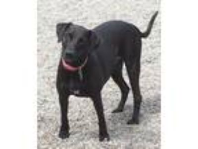 Adopt SAMI-Athletic loving girl a Labrador Retriever / Pointer / Mixed dog in
