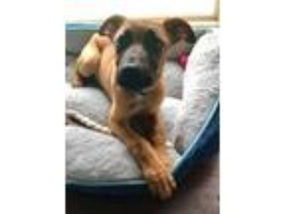Adopt Funnel of Love a Belgian Shepherd / Malinois, Black Mouth Cur
