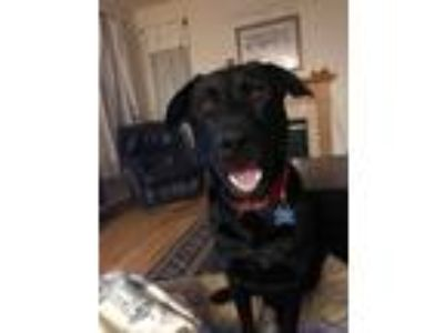 Adopt Scrappy #2 a Black Labrador Retriever / Mixed dog in Rockville