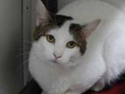 Adopt Dennis a White Domestic Shorthair / Domestic Shorthair / Mixed cat in