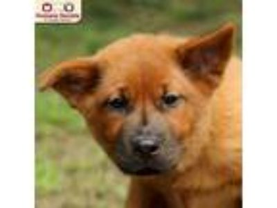 Adopt Paprika a Red/Golden/Orange/Chestnut Chow Chow / Mixed dog in Nashua