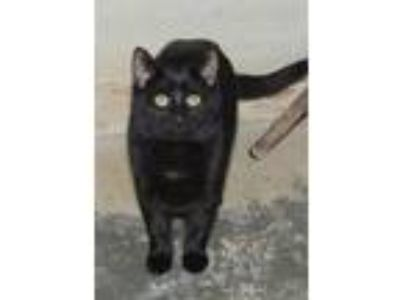 Adopt Boo a All Black Domestic Shorthair / Domestic Shorthair / Mixed cat in