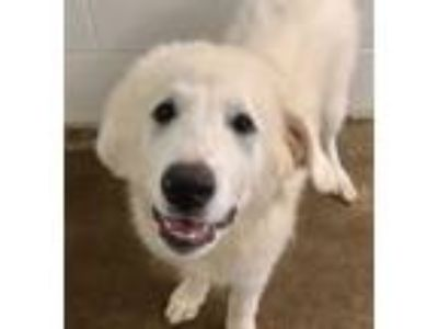 Adopt Oden a Great Pyrenees
