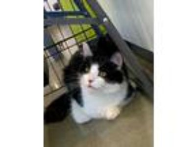 Adopt Octavie a White Domestic Longhair / Domestic Shorthair / Mixed cat in